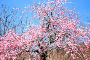 遊歩道の梅たち〜八部咲き〜-1