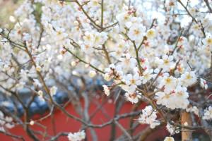遊歩道の梅たち〜八部咲き〜-3