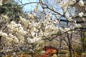 遊歩道の梅たち〜八部咲き〜-4