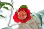 ツバキ'ガッコウ'椿'月光'Camellia'Gakkô' 12~4月