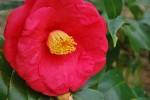 ツバキ'アカシガタ'椿'明石潟'Camellia'Akashigata'12~4月