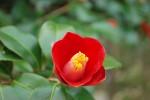 ヤブツバキ藪椿Camellia japonica 12~4月