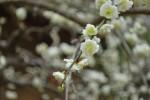 20140325ウメ'シラタキシダレ'梅'白滝枝垂れ'Prunus mume'Shiratakishidare'2~3月