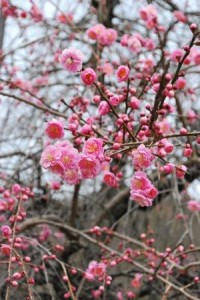 201403春の訪れを告げる遊歩道の梅 (2)