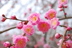 201403春の訪れを告げる遊歩道の梅 (3)