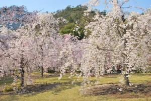 20140410 桜吹雪に包まれる遊歩道 (4)