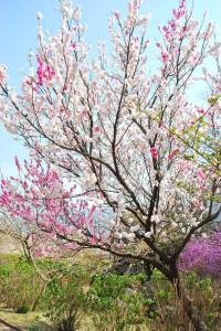 20140410 桜吹雪に包まれる遊歩道 (6)