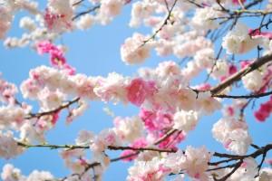 20140410 桜吹雪に包まれる遊歩道 (7)