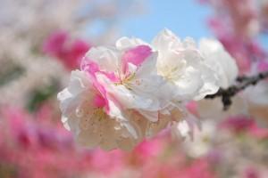 20140410 桜吹雪に包まれる遊歩道 (8)