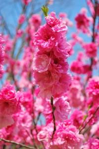 20140410 桜吹雪に包まれる遊歩道 (9)