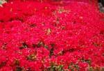 サツキ'サツマベニ'皐月'薩摩紅'Rhododendron indicum'Satsuma-beni'5~7月