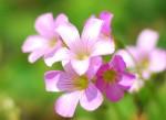 00ムラサキカタバミ紫片喰Oxalis corymbosa5~7月