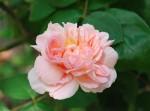 バラ'マサコ'Rosa'AUSmak'5~10月