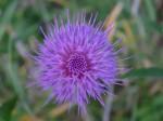ノアザミ野薊Cirsium japonicum5~8月