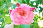バラ'クイーン・エリザベス'Rosa'Queen Elizabeth'5~6月