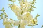 20140529アツバキミガヨラン厚葉君が代蘭Yucca gloriosa5~6月