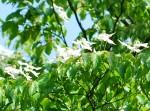 20140601ヤマボウシ山法師Cornus kousa5~7月
