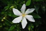 20140609クチナシ梔子Gardenia jasminoides6~7月