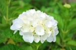 20140612アジサイ紫陽花Hydrangea macrophylla5~7月