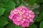 アジサイ紫陽花Hydrangea macrophylla5~7月