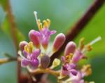 ムラサキシキブ紫式部Callicarpa japonica6~8月