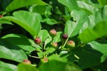イヌビワ犬枇杷Ficus erecta var. erecta10~11月