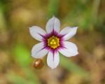 ニワゼキショウ庭石菖Sisyrinchium atlanticum5~6月