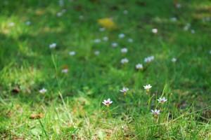 20140627ニワゼキショウの花 (2)