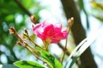 キョウチクトウ夾竹桃Nerium oleander var. indicum6~9月