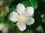 20140702ギンバイカ銀梅花Myrtus communis5~6月