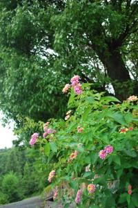20140703ランタナの花 (2)