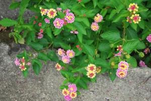 20140703ランタナの花 (3)