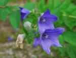 キキョウ桔梗Platycodon grandiflorus7~9月