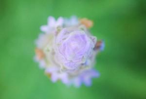 20140724ラベンダーの花 (1)