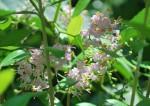 コムラサキ小紫Callicarpa dichotoma7~8月