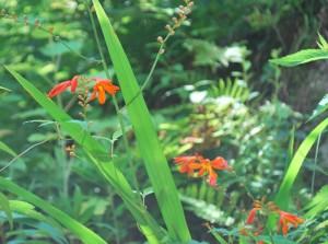 20140727ヒメヒオウギズイセンの花 (2)
