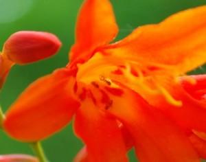 20140727ヒメヒオウギズイセンの花 (3)