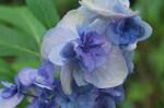 ヤエアジサイ八重紫陽花Hydrangea macrophylla5~7月