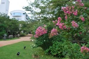20140822サルスベリの花 (1)