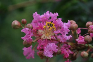 20140822サルスベリの花 (2)