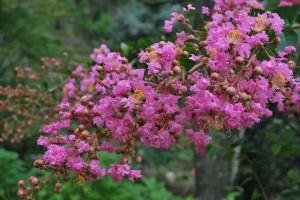 20140822サルスベリの花 (3)