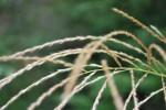 ススキ薄Miscanthus sinensis9~10月