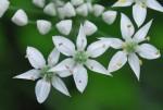 20140908ニラ韮Allium tuberosum8~9月