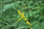 キンミズヒキ金水引Agrimonia pilosa var. japonica7~10月