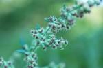 ヨモギ蓬Artemisia princeps9~10月