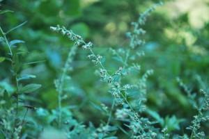 20140920ヨモギの花 (3)