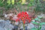 ヒガンバナ彼岸花Lycoris radiata9~10月