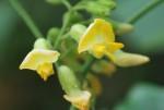 トキリマメ吐切豆Rhynchosia acuminatifolia7~9月