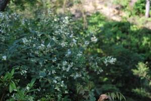 20140925ハギの花(白) (2)
