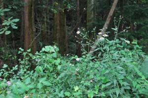 20140930ヨメナの花 (1)